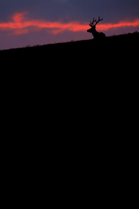 bull elk, bull, elk, rocky mountain national park, colorado, rocky mountain, sunset, alpine tundra, tundra, , photo