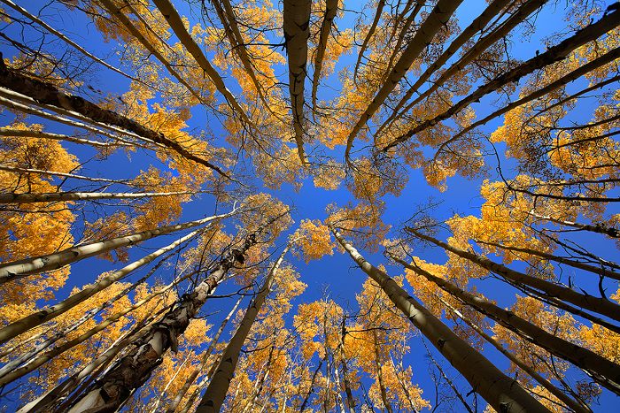 boreas pass, breckenridge, colorado, aspen, aspens, tree, trees, fall, autumn, gold, leaves, , photo