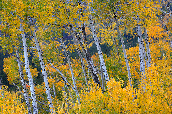 aspen, aspens, tree, trees, rocky mountain national park, colorado, leaves, autumn, fall, , photo