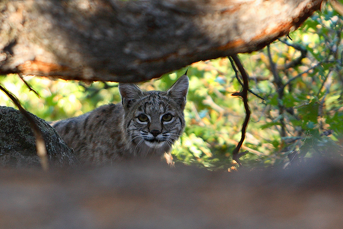 bobcat, lynx rufus, lynx, san juan mountains, colorado, bobcats, cats, cat, photo