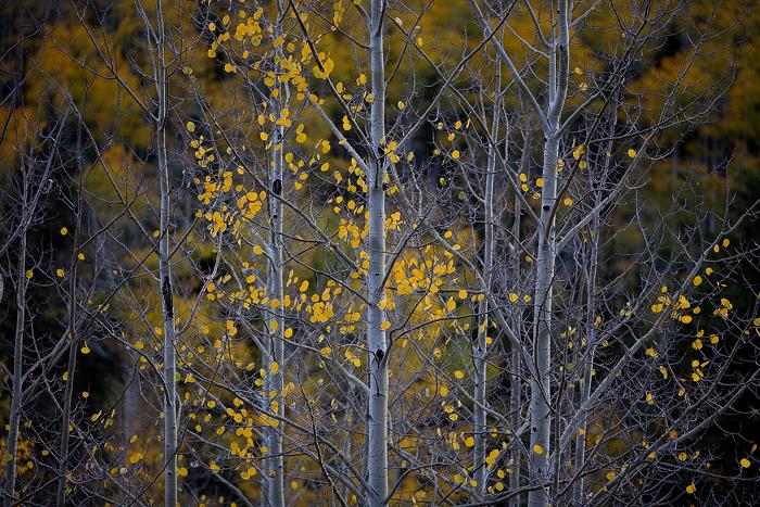 san juan mountains, colorado, tree, trees, aspen, aspens, fall, autumn, , photo