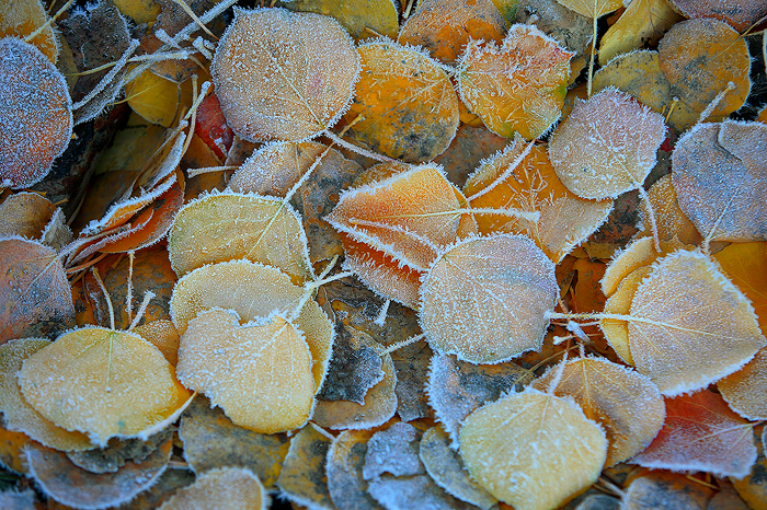 aspen, aspen, leaves, frost, uncompahgre national forest, colorado, frosty, fall, autumn, , photo