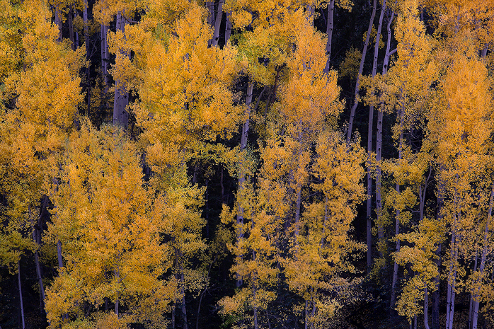san juan mountains, colorado, aspen, aspens, tree, trees, gold, autumn, fall, leaves, shadows, , photo
