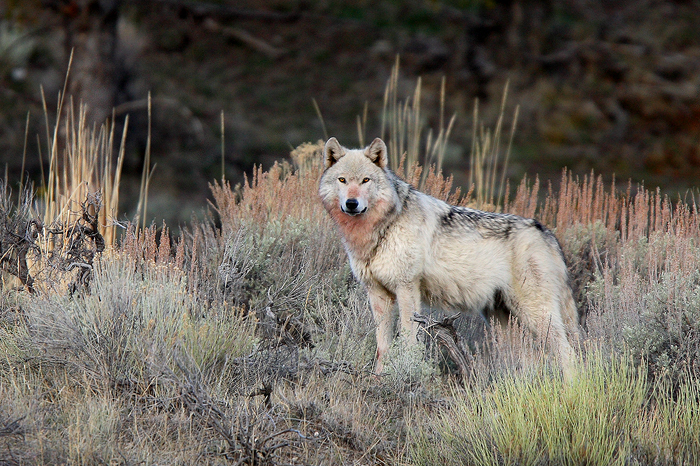 0399, noble, one, grey, wolf, grey wolf, canis, lupus, canis lupus, yellowstone national park, yellowstone, national, pa, photo