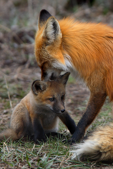 colorado, 0400, proud, father, proud father, red fox, red, fox, pup, red fox pup, tiny, red foxes, foxes, mother, vulpes, photo
