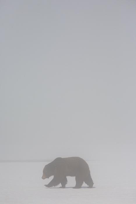 grizzly bear, grizzly bears, grizzly, bear, bears, grizzlies, yellowstone national park, yellowstone, wyoming, snow, fog, photo