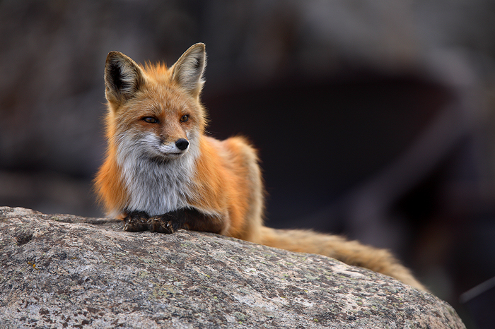 fox, rock, female, family, male, red, boulder, kits, pups, vulpes vulpes, breckenridge, colorado, 0403, photo