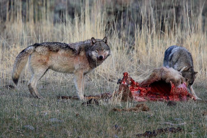 yellowstone national park, wyoming, yellowstone, national, park, 0404, the balance, the, balance, grey wolves, grey, wol, photo