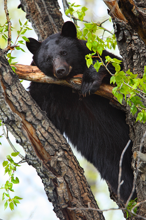 american black bear, black bear, bear, bears, ursus americanus, breckenridge, colorado, tree, photo