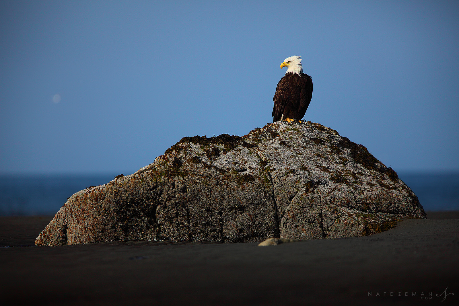 A lone bald eagle perches atop a large rock at low tide. Purchase Prints and Wall Art Print Options, Sizes and Prices: