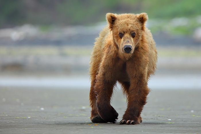 alaskan brown bears, alaskan brown bear, brown bear, brown bears, brown, bear, bears, katmai national park, alaska, katm, photo