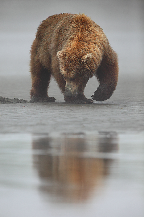 alaskan brown bear, katmai national park, alaska, katmai, national park, ursus arctos, clams, bears, brown, clam,, photo