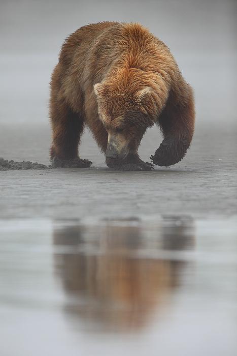 alaskan brown bear, katmai national park, alaska, katmai, national park, ursus arctos, clams, bears, brown, clam,, photo