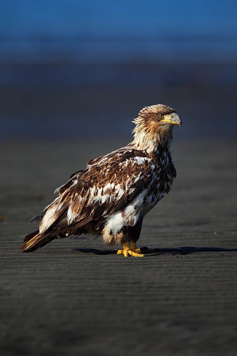 bald eagle, eagle, eagles, alaska, kachemak bay, tide, juvenile, , photo