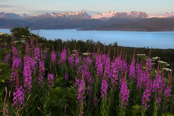 Looking across Kachemak bay towards the Kenai mountains and their massive glaciers a field of fireweed is in full bloom. In early...