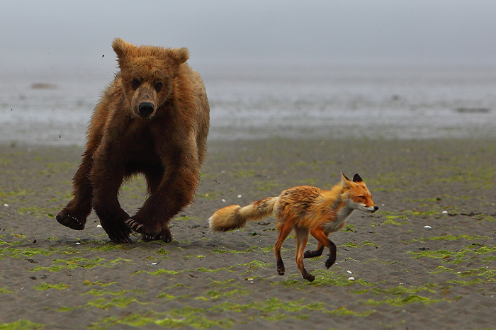 Alaskan brown bear, brown bear, bears, red fox, fox, foxes, katmai national park, alaska, chase, brown bears, , photo