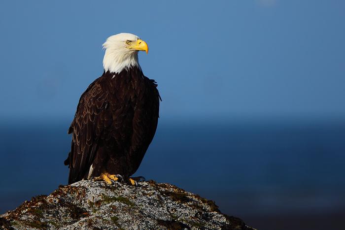 bald eagle, eagle, eagles, kachemak bay, alaska, blue, , photo