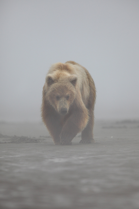 alaskan brown bear, brown bear, bear, bears, ursus arctos, katmai national park, alaska, katmai, fog, , photo