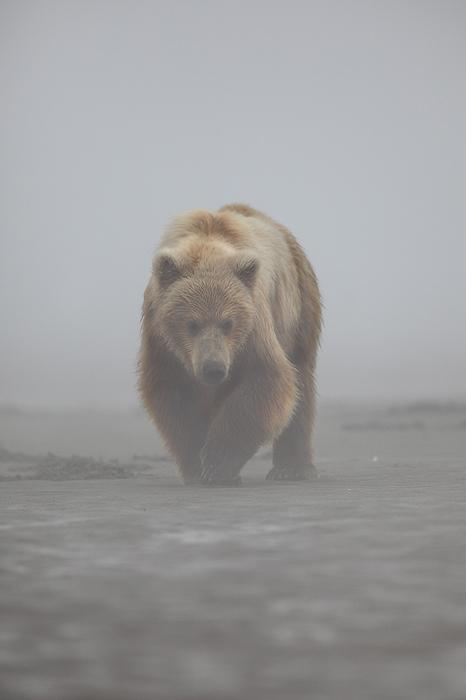 alaskan brown bear, brown bear, bear, bears, ursus arctos, katmai national park, alaska, katmai, fog, , photo