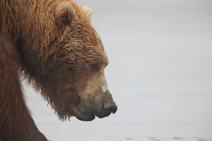 grizzly, alaskan brown bear, brown bear, bear, bears, katmai national park, katmai, coastal, profile, ursus arctos, photo