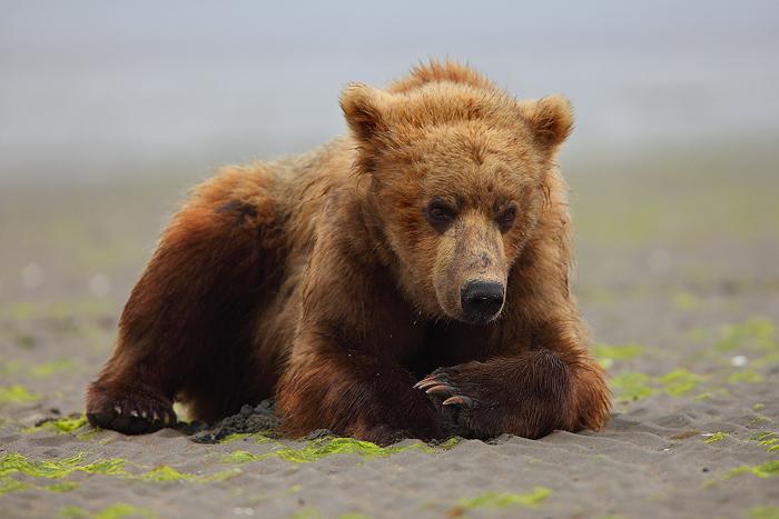 alaskan brown bears, alaskan brown bear, brown bears, brown bear, bear, bears, brown, katmai national park, alaska, katm, photo