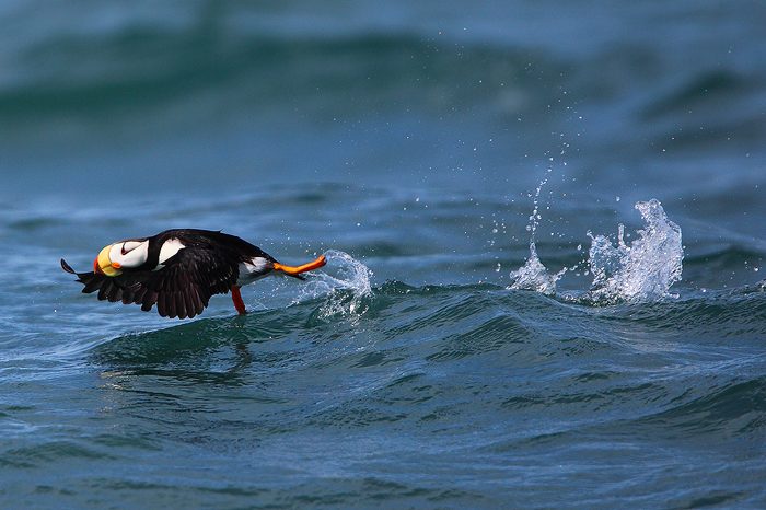 horned puffin, puffin, horned, kachemak bay, alaska, homer, ocean, water, , photo