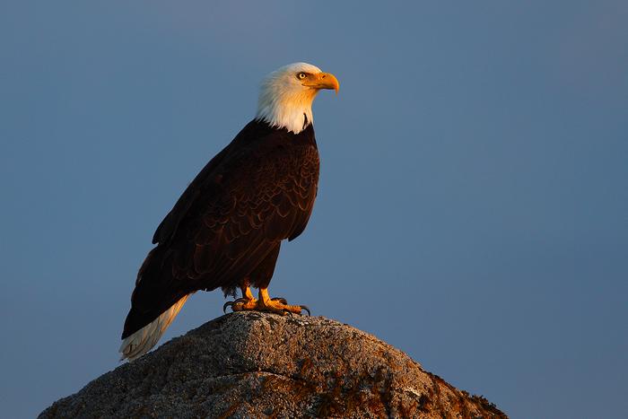 bald eagle, bald, eagle, eagles, kachemak bay, alaska, , photo
