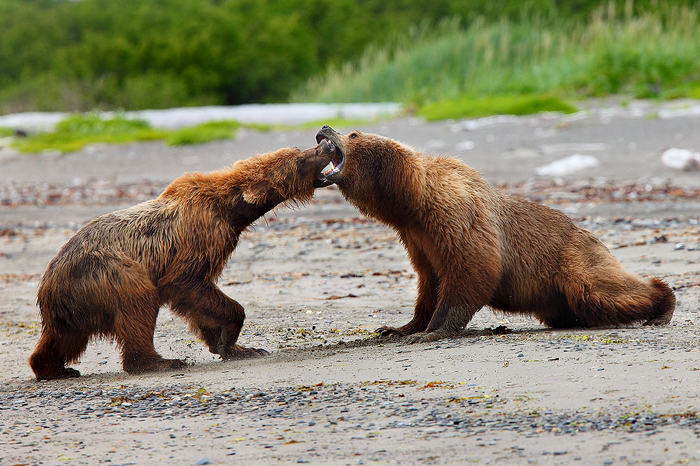 A large female brown bear engages in serious combat with a much smaller male. The prize these two were battling over was a sea...