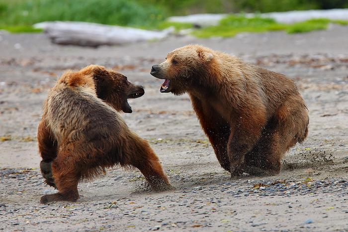 alaskan brown bears, brown bears, bears, bear, ursus arctos, katmai national park, alaska, katmai, fight,, photo