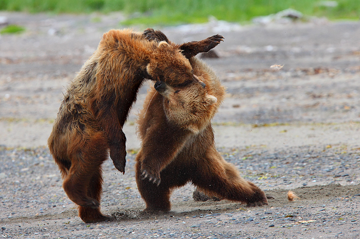 alaskan brown bears, brown bears, bears, bear, ursus arctos, katmai national park, alaska, katmai, fight,, photo