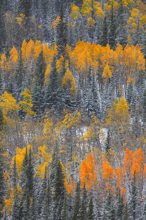 It is a great treat when the first snowflakes fall at the peak of fall color. The contrast of the yellow aspen leaves against...