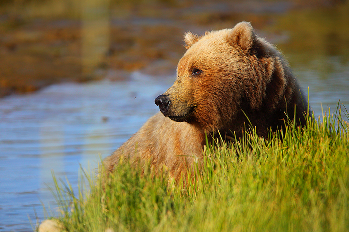 alaskan brown bear, bears, alaskan brown bears, brown bear, brown, brown bears, katmai national park, katmai , photo