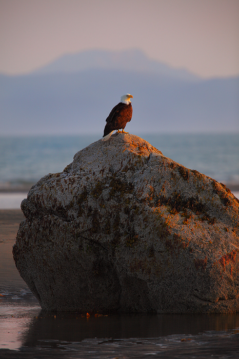 bald eagle, eagle, kachemak bay, alaska, homer, rock, bird, ocean, , photo