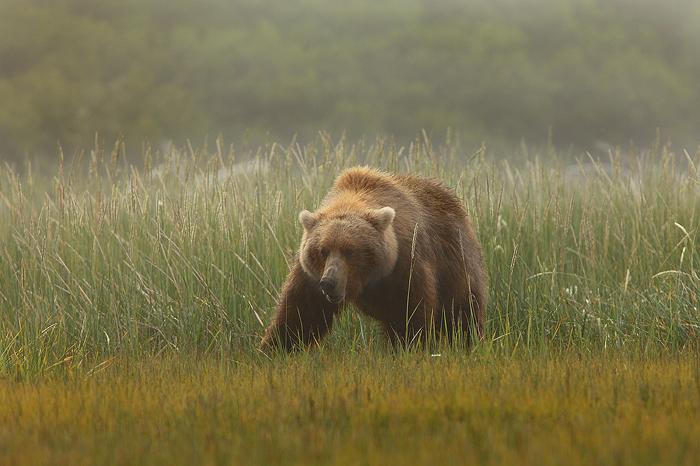 alaskan brown bear, brown bears, brown bear, bears, katmai national park, alaska, katmai, grass, meadow, photo