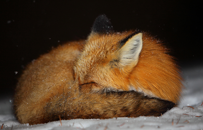 breckenridge, colorado, 0449, winter slumber, winter, slumber, red fox, red, fox, vulpes vulpes, vulpes, red foxes, red,, photo