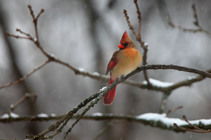 A beautiful female cardinal perches proudly on a tree limb, seemingly oblivious to the harsh winter winds ruffling her...