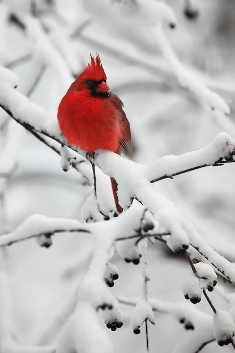 northern cardinal, cardinal, red, cardinalis cardinalis, snow, winter, bird, male, winter, wisconsin, midwest, berries, photo
