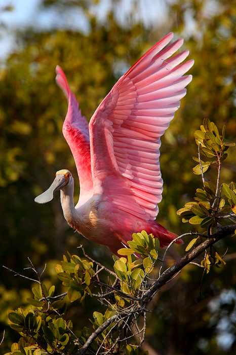 A Beautiful Roseate Spoonbill takes off from the mangrove it had spent most of the day sleeping in. The bizzare bill that gives...