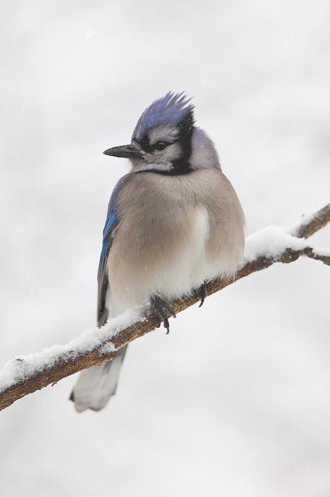 A blue jay perches on a snow covered branch on a snowy day in Wisconsin.