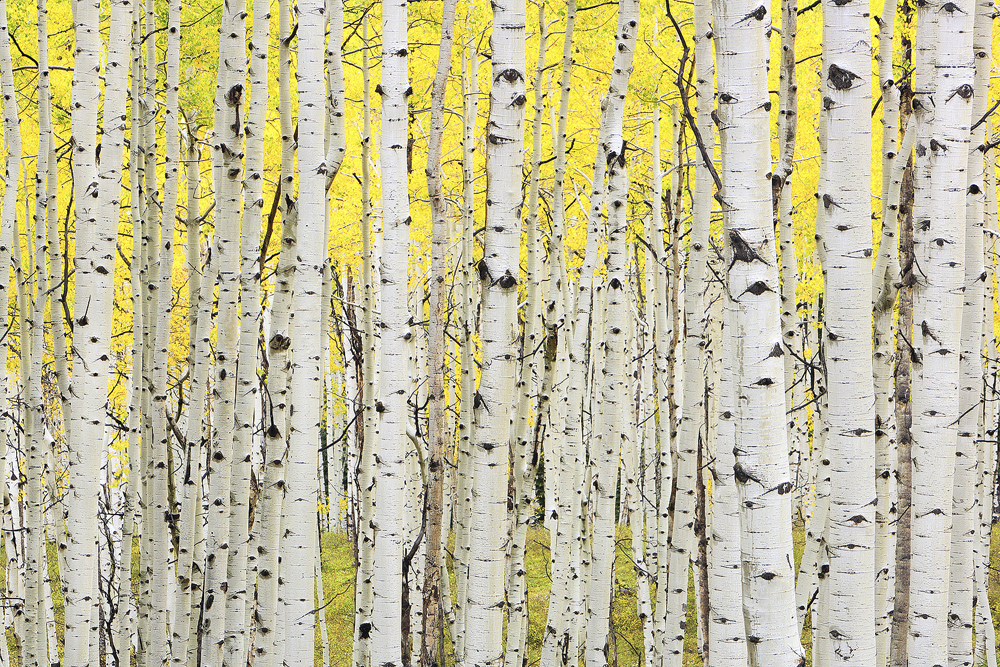 Kebler, pass, aspens, colorado, photo