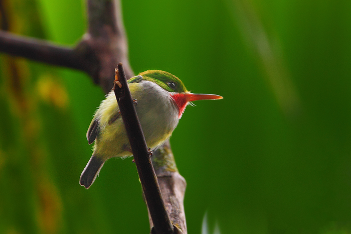 san peditro, puerto, rico, puerto rican tody, tody, el yunque rainforest, el yunque, rainforest, bird, weight, todus mex, photo