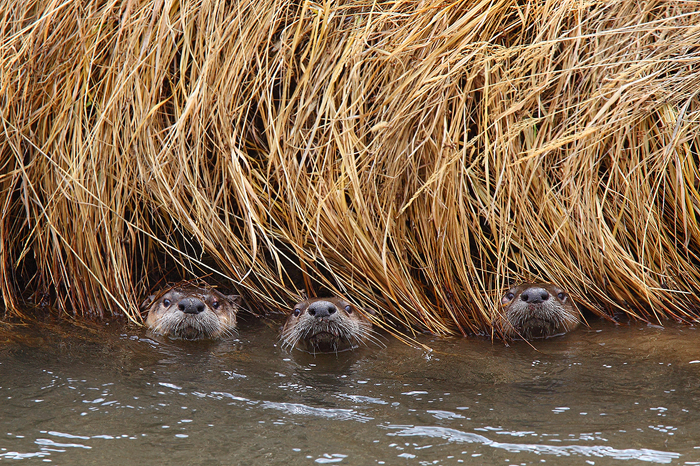 When we first came upon this family of river otters they were very leery of us. For a while we could only hear them growling...