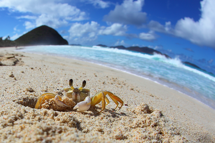 ghost crab, sand crab, crab, caribbean, tortola, long bay, ocean, waves, fisheye, sand crab, sand, beach, , photo