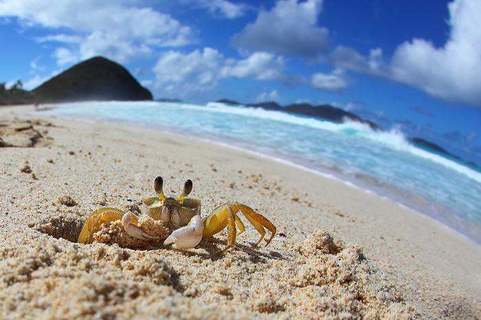 ghost crab, sand crab, crab, caribbean, tortola, long bay, ocean, waves, fisheye, sand crab, sand, beach, , photo