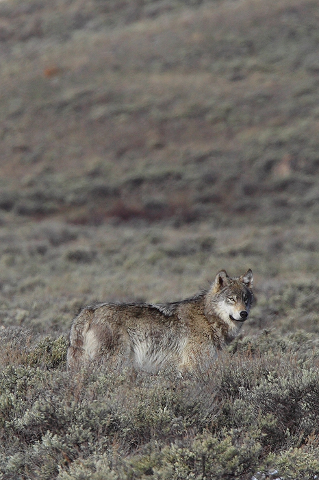 Perfectly adapted to its environment, this grey wolf blends into her surroundings almost perfectly. If it weren't for my telephoto...