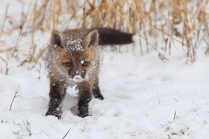 red fox, red foxes, fox, foxes, snow, breckenridge, colorado, baby, kit, kits, babies,	, photo