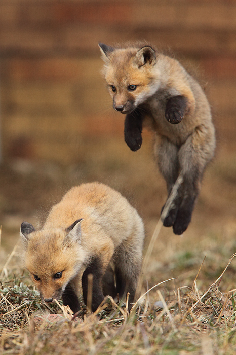 red fox, fox, playing, cute, baby, kit, siblings, den, breckenridge, colorado, co, vulpes vulpes, , photo