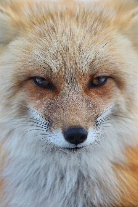 Staring into the eyes of a fox.