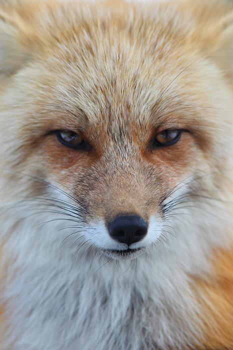 Stare of a Vixen : Red Fox - (Vulpes vulpes ...