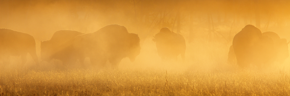golden, bison, buffalo, yellowstone national park, sunrise, fox, silhouette, american, native american, wild, slaughter,, photo